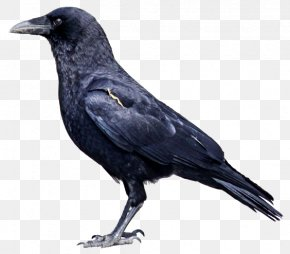 Crow Side - American Crow Rook Bird Common Raven Carrion Crow PNG
