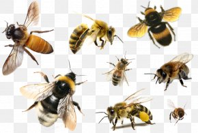 Bee - Bee Hornet Apis Florea Insect Honey PNG