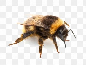 Insect Pic - Bumblebee Hornet Insect Bites And Stings PNG