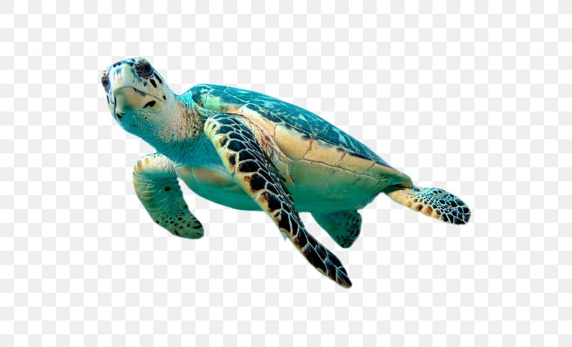 Hawksbill Sea Turtle Green Sea Turtle Clip Art, PNG, 622x498px, Hol Chan Marine Reserve, Animal, Beak, Coral, Coral Reef Download Free