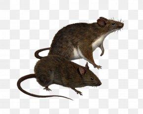 Rat Png Clipart - Brown Rat Hawaii Black Rat Traveller's Wildlife Guide: Costa Rica Rodent PNG