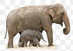 Elephant Transparent - African Elephant Indian Elephant Clip Art PNG