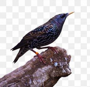 Raven HD - Bird Common Raven Download PNG