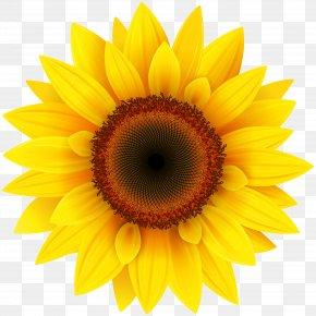 Sunflower - Common Sunflower Clip Art PNG