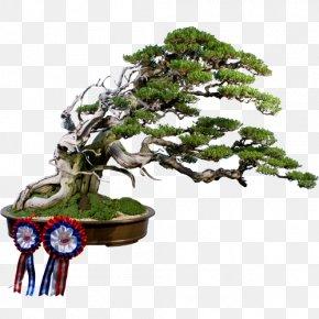 Bonsai - Sageretia Theezans Bonsai Weeping Fig Tree Flowerpot PNG