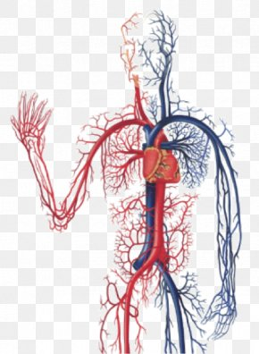 Blood - The Cardiovascular System Circulatory System Anatomy Of The Heart Diagnostic Medical Sonography: The Vascular System Human Body PNG