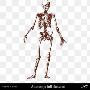 Human Body Skeleton - Human Skeleton Human Body Bone Anatomy PNG