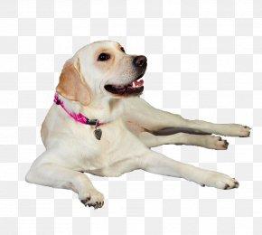 Labrador Dog - Labrador Retriever Puppy Dog Breed Companion Dog PNG