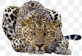 Jaguar - Felidae Amur Leopard Snow Leopard Jaguar Tiger PNG