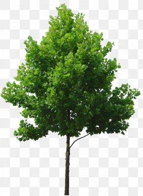 Tree Plan - Tree Birch Lindens Clip Art PNG