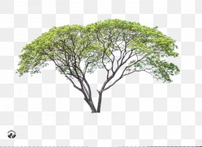 Tree - Branch Advertising Tree PNG
