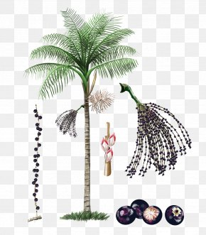 Palm Tree Fruit - Axe7axed Palm Amazon Rainforest Plant Fruit Tree PNG