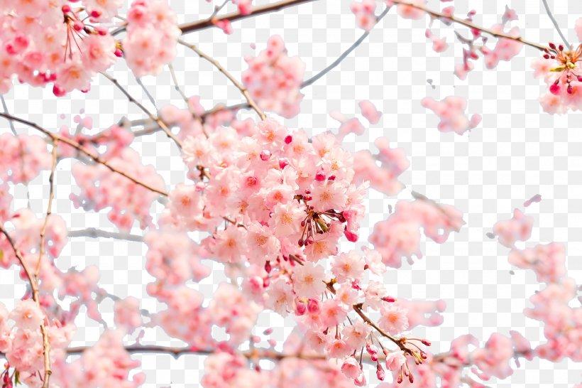 Japan Cherry Blossom 4k Resolution Wallpaper Png