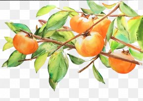 Persimmon Pencil Drawing - Japanese Persimmon Fruit Drawing PNG