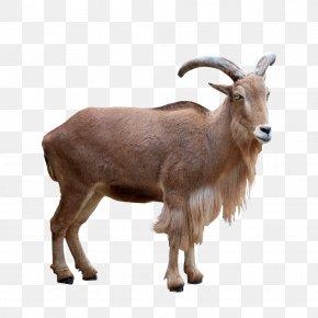Goat - Barbari Goat Barbary Sheep Mouflon Deer PNG