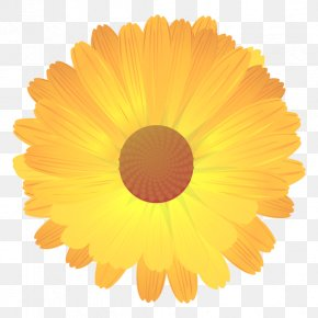 English Marigold Getty Images Stock Photography Common Daisy PNG