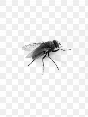 Fly Image - Muscidae Black And White Insect PNG