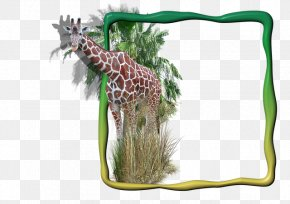Tea Bagging A Man Man - Giraffe Picture Frames Image Clip Art Digital Photo Frame PNG