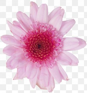 Dahlia Flowers Background - Transvaal Daisy Chrysanthemum Photography Cut Flowers PNG