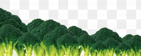 Broccoli - Broccoli Vegetable Cauliflower PNG