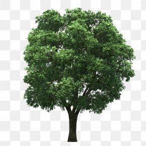 Tree Top - Tree Arecaceae Clip Art PNG