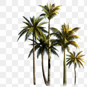 Coconut Grove - Coconut Tree Asian Palmyra Palm Euclidean Vector PNG