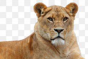 Lion - Lion Wallpaper PNG
