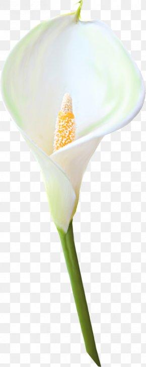 Calla Clipart - Petal Plant Stem PNG