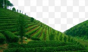 Tea Field Green Oil - Tea Theme LED Lamp PNG