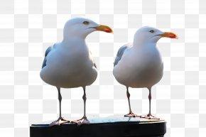 Lari Water Bird - Bird European Herring Gull Gull Western Gull Beak PNG