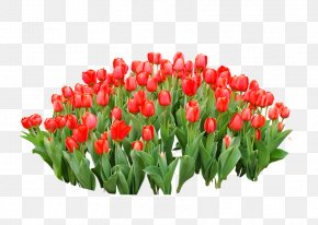 Red Tulips - Tulip Red Flower PNG
