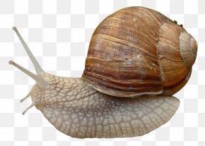 Snail - Burgundy Snail Grove Snail Gastropods PNG