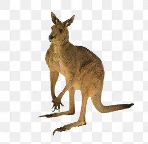 Kangaroo - Australia Cat Red Kangaroo Tail PNG
