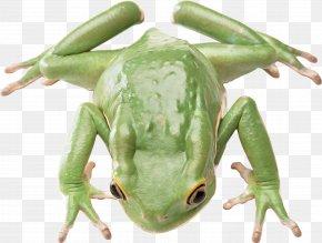 Green Frog - Salamander Frog Animal Reptile Poikilotherm PNG
