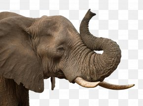 Elephant - African Elephant Indian Elephant PNG
