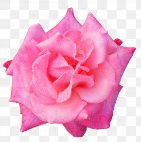 Garden Roses Belur Math Centifolia Roses Floribunda PNG