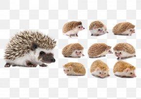 Cute Hedgehog - Four-toed Hedgehog Animal Download PNG