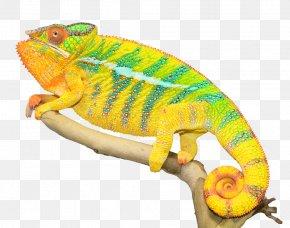Chameleon Photos - Panther Chameleon Lizard Ambilobe Reptile PNG