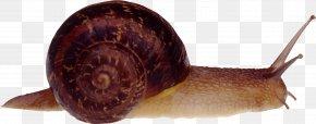 Snail - Cornu Aspersum Burgundy Snail Slug PNG