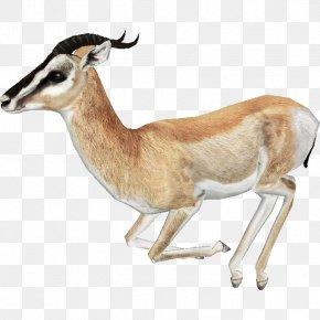 Gazelle Free Download - Springbok Impala Antelope PNG