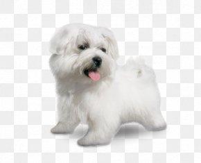 Small Dog Breeds - Maltese Dog Coton De Tulear Little Lion Dog Havanese Dog Bolognese Dog PNG