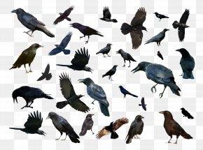Birds And Birds - Bird Common Raven Animal PNG