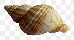 Sea Shell - Seashell PNG