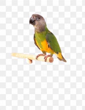 Hand-painted Parrot - Lovebird Cockatiel Budgerigar Parakeet PNG