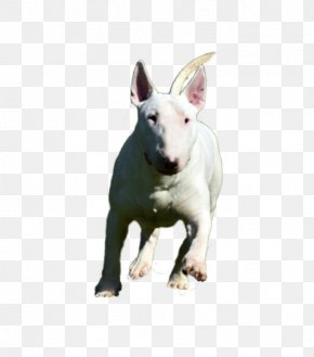 Bull Terrier - Miniature Bull Terrier Bull And Terrier Old English Terrier English White Terrier PNG