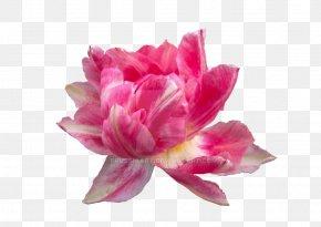 Peonies - Pink Flowers Peony Petal Clip Art PNG