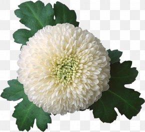 Watercolor Flowers Creative Floral Illustration - Chrysanthemum Flower Clip Art PNG