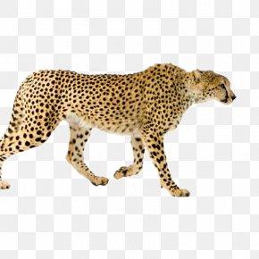 Leopard - Maasai Mara Leopard Asiatic Cheetah Cat Stock Photography PNG