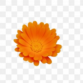 Chrysanthemum - Calendula Officinalis Flower Chrysanthemum Skin PNG