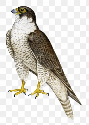 Standing Falcon - Bird Hawk Falcon Flight PNG